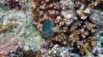 plectroglyphidodon lacrymatus Jewel damselfish DMS