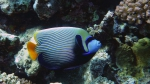 Pomacanthus imperator Emperor angelfish DMS