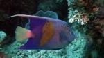 Pomacanthus Maculosus Yellowbar angelfish DMS