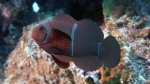 Premnas biaculeatus MaroonClownfish DMS