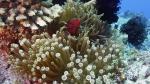 Premnas biaculeatus MaroonClownfish1 DMS