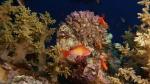 Pseudanthias squamipinnis Sea goldie DMS