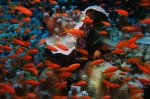 Pseudanthias squamipinnis sea goldies1 DMS