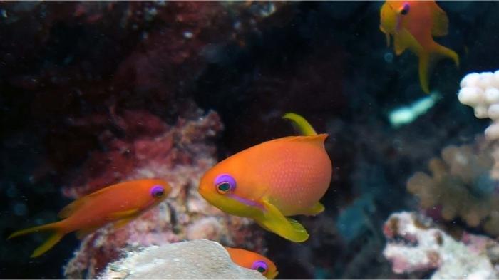Pseudanthias squamipinnis Sea goldies2 DMS