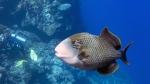 Pseudobalistes flavimarginatus Yellowmargin triggerfish DMS