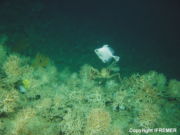 Cold-water coral habitat on a carbonate mound in Porcupine Seabight