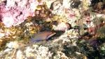 Pseudocheilinus tetrataenia FourlineWrasse DMS