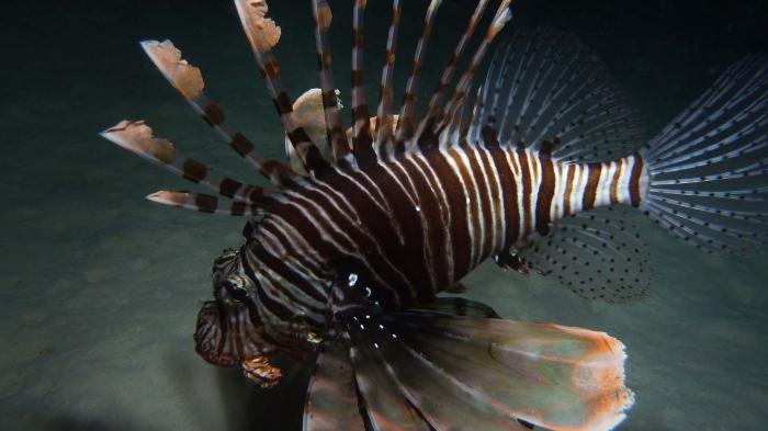 Pterois miles Devil firefish DMS