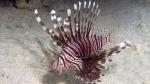 Pterois miles Devil firefish2 DMS