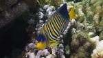 Pygoplites diacanthus Royal angelfish DMS