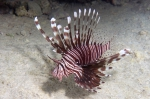 Red lionfish Pterois volitans2 DMS