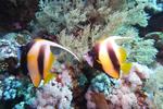Red Sea Bannerfish Heniochus intermedius DMS