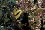 Red Sea Bannerfish Heniochus intermedius4 DMS