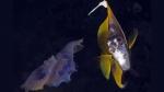 Red Sea Bannerfish Heniochus intermedius5 DMS