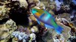 Scarus ferrugineus Rusty Parrotfish DMS