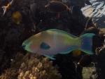 Scarus ferrugineus Rusty Parrotfish1 DMS