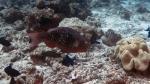 Scarus rubroviolaceus EmberParrotfish DMS