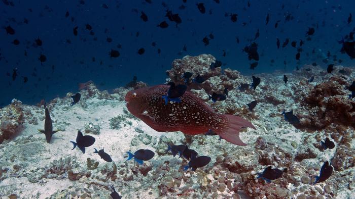 Scarus rubroviolaceus EmberParrotfish2 DMS