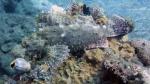 Scorpaena oxycephala SmallScaleScorpionfish DMS