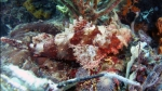 Scorpaena oxycephala SmallScaleScorpionfish1 DMS