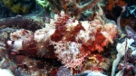 Scorpaenopsis possi ReefScorpionfish3 DMS
