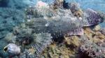 Scorpaenopsis possi ReefScorpionfish8 DMS