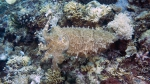 Sepia latimanus BroadclubCuttlefish DMS