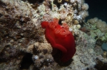 Spanish Dancer Hexabranchus sanguineus DMS