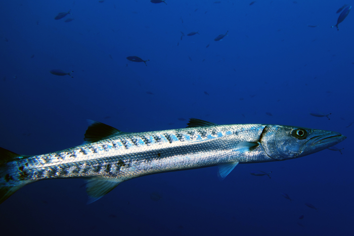 Sphyraena barracuda Great barracuda1 DMS