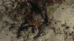 Spondulus sp. Scoop spinedThornyOyster DMS