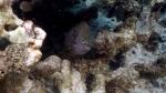 Stegastes Marginatus HawaiianGregory1 DMS