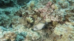 Sufflamen bursa ScytheTriggerfish DMS