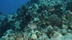 Sufflamen bursa ScytheTriggerfish1 DMS