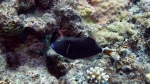 Sufflamen chrysopterum Halfmoon triggerfish DMS