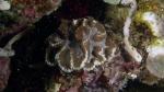 Symphyllia agaricia1 DMS