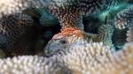 Trapezia flavopunctata YellowSpottedCrab DMS