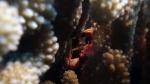 Trapezia flavopunctata YellowSpottedCrab1 DMS
