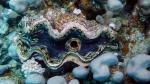 Tridacna maxima Small giant clam DMS