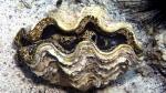 Tridacna maxima Small giant clam2 DMS