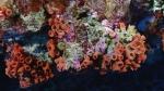Tubastraea coccinea Orange cup coral DMS