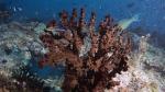 Tubastraea micranthus MidnightCoral DMS