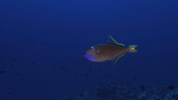 Xanthichthys auromarginatus GildedTriggerfish DMS