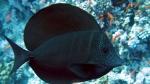 Zebrasoma desjardinii Sailfin tang1 DMS