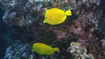 Zebrasoma flavescens YellowTang DMS