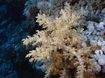 Litophyton arboreum Broccoli coral1 DMS