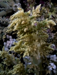 Litophyton arboreum Broccoli coral3 DMS