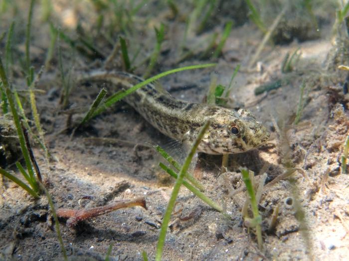 Zosterisessor ophiocephalus