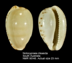 Notocypraea dissecta