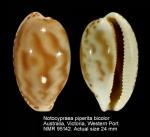 Notocypraea piperita bicolor