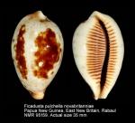 Ficadusta pulchella novaebritanniae